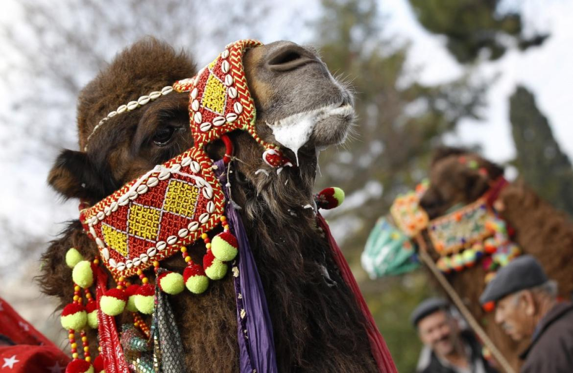 The weird and wonderful world of camel wrestling