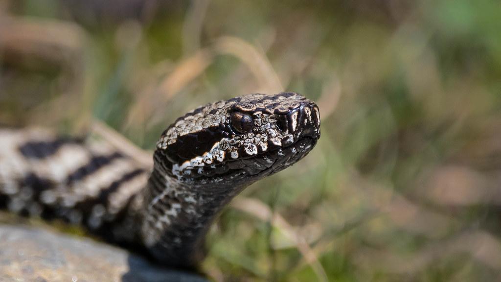 土耳其黑毒蛇