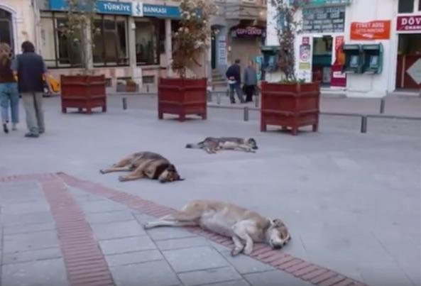 Street dogs, Bodrum