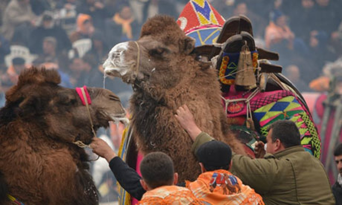 camel wrestling Turkey