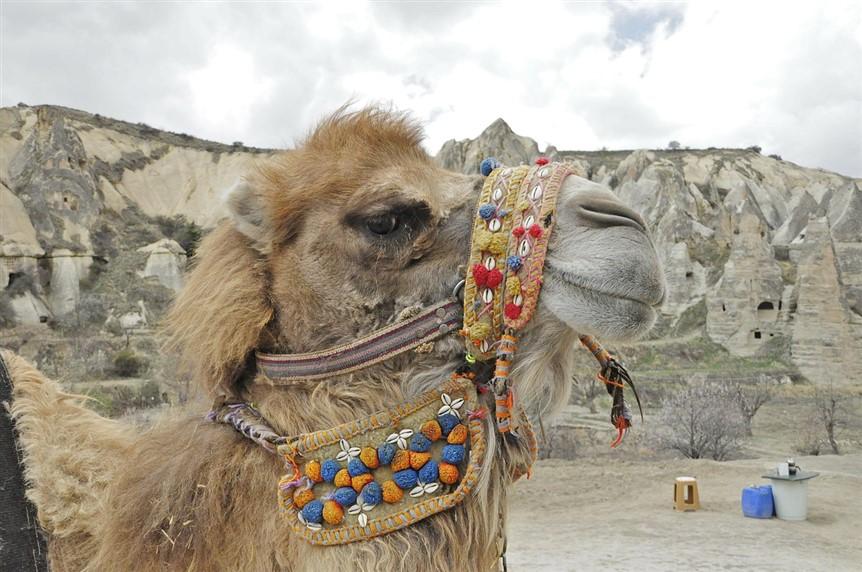 верблюды в Турции