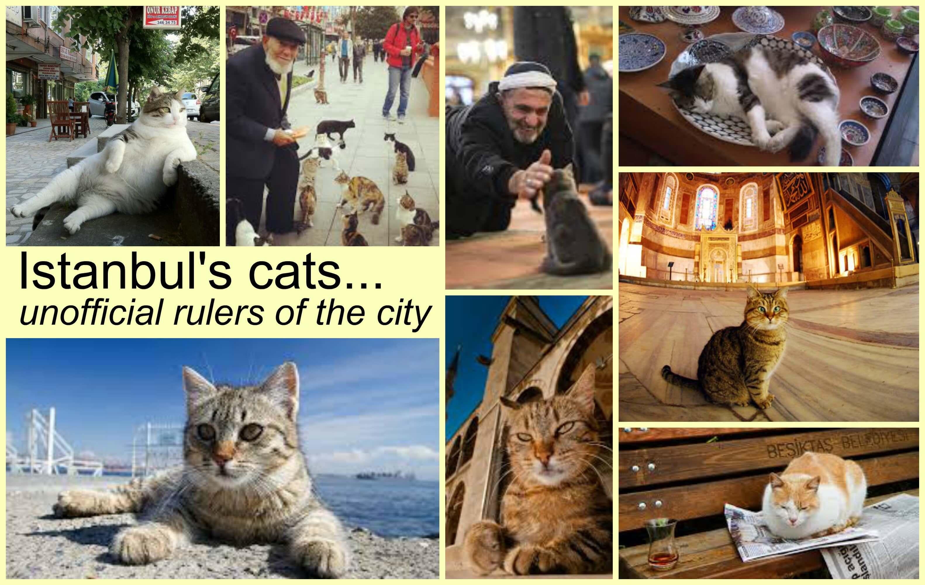伊斯坦布尔猫