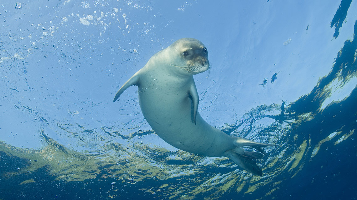 monk seal Turkey