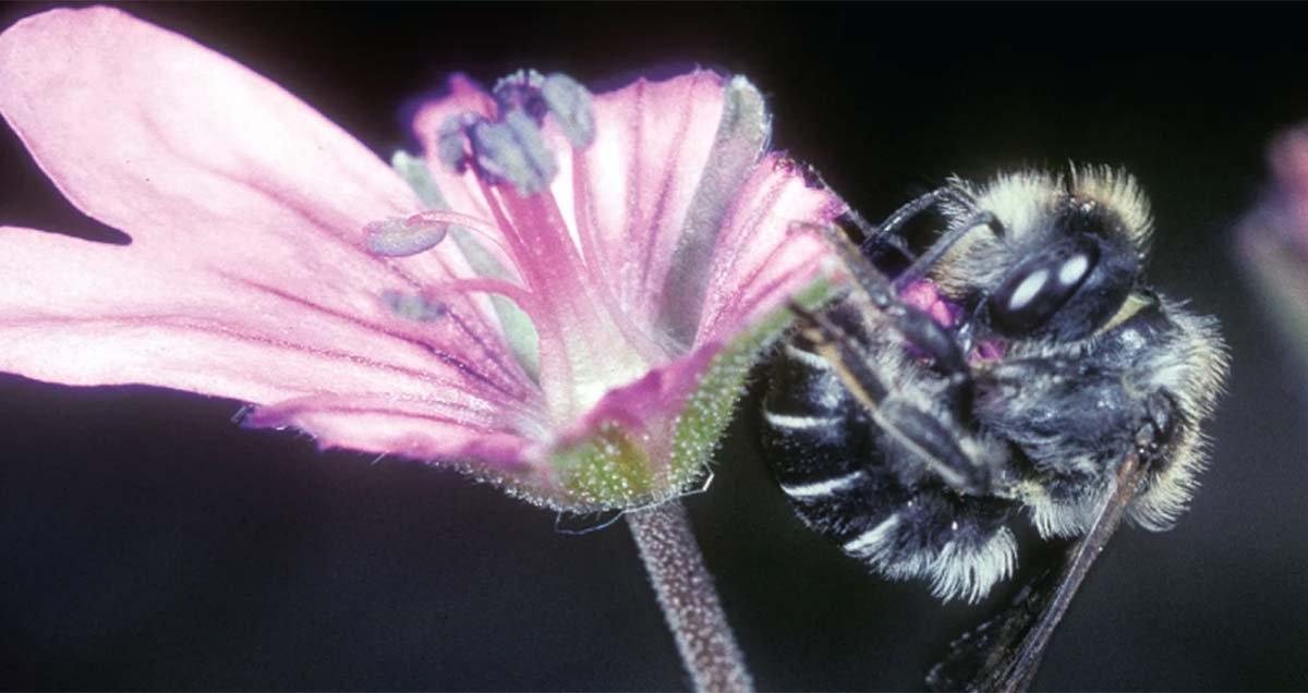 osmia avosetta is a species of mason bee