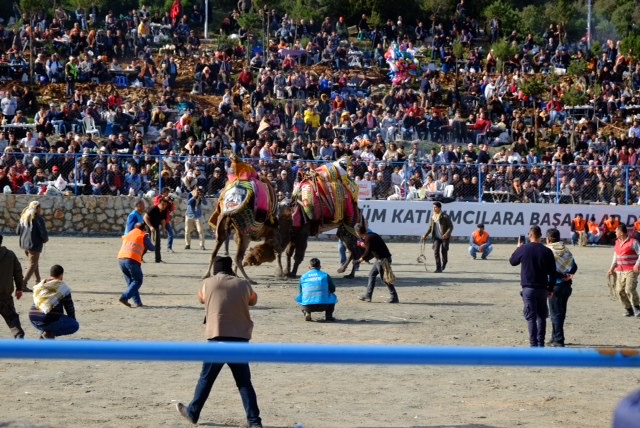 Camels in action at the annual camel wrestling festival in Bodrum, Turkey