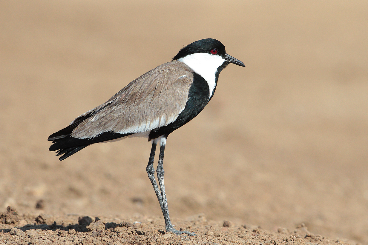 Spur winged plover Turkey