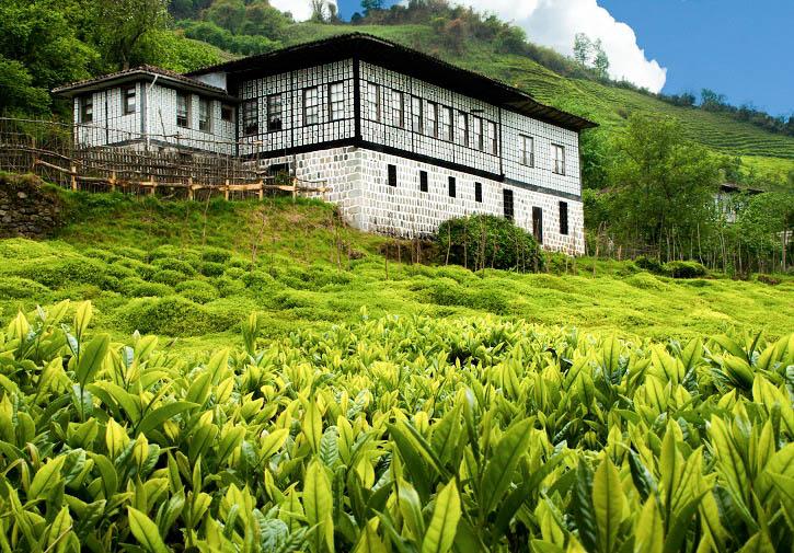 Tea plantation Turkey