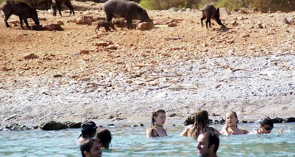 Wild boars, Turkey