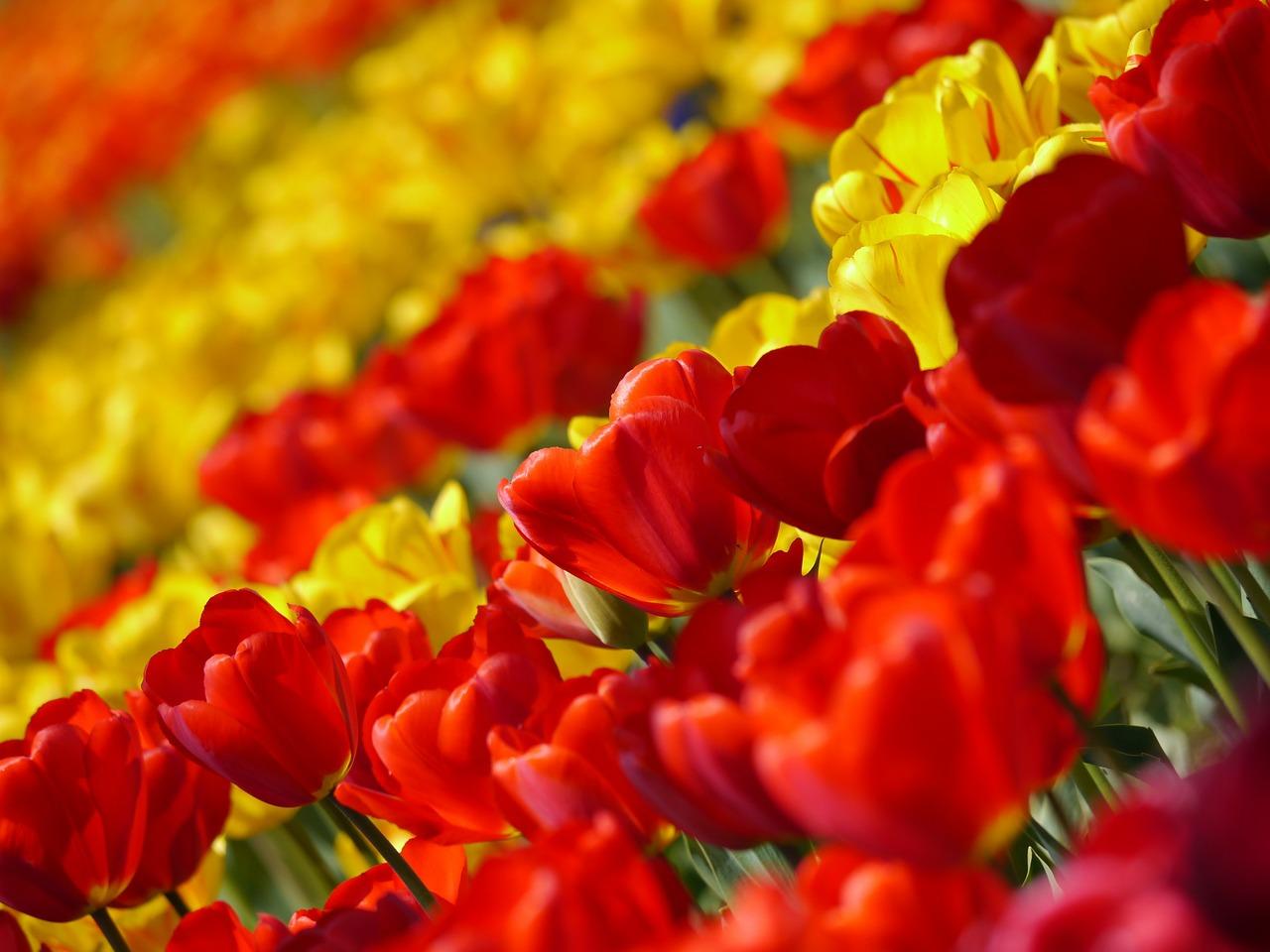 Tulip Festival Istanbul