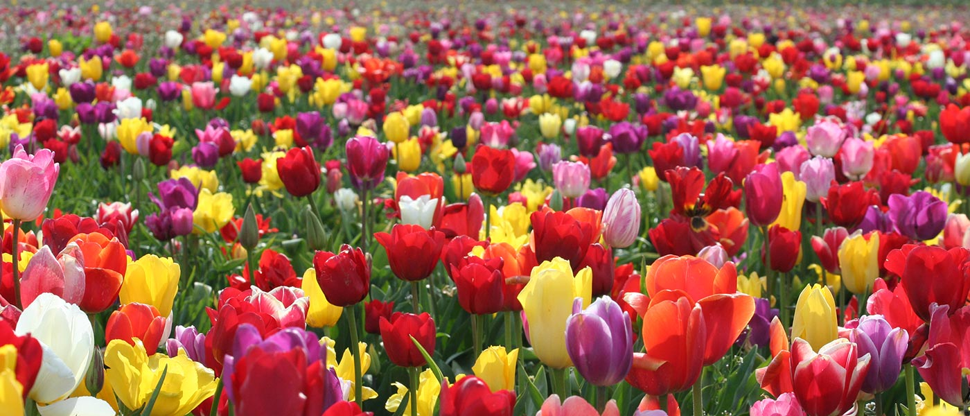 Tulips in Turkey