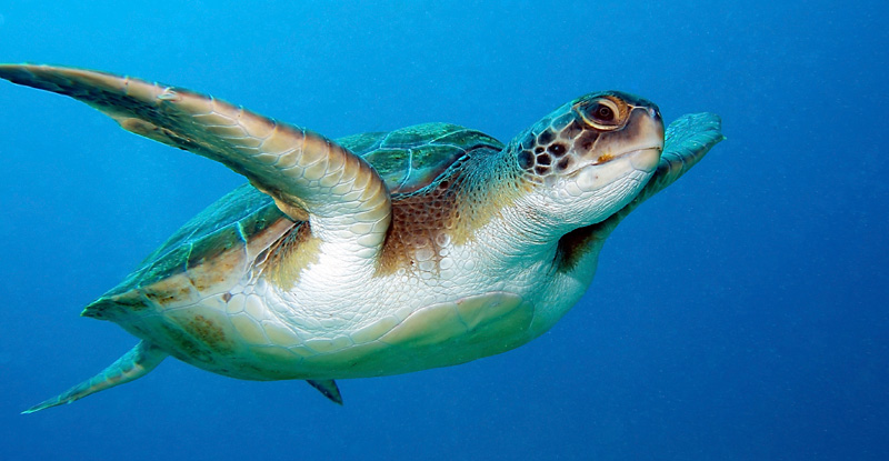 Loggerhead turtle, Turkey