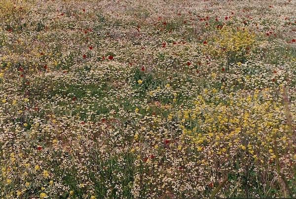 Wild flowers, Aphrodisius
